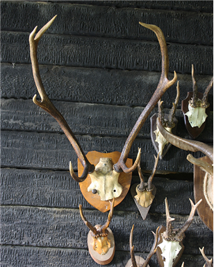 seven  Point Mounted Deer Antlers