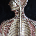 anatomical Man